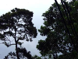 20070926Jungle-TiomanMalaysia.jpg
