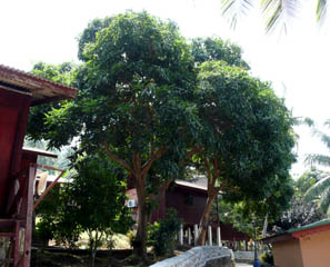 20071001MangoTreeSalangTiomanMalaysia.jpg