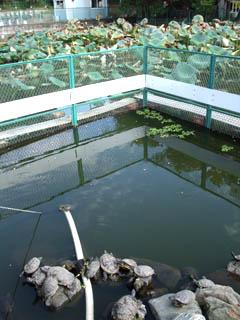 20091016Turtle-NakayamaHokekyo-ji2.jpg