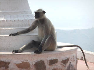 20110403BigMonkyAtShantiStupa-Rajgir.jpg